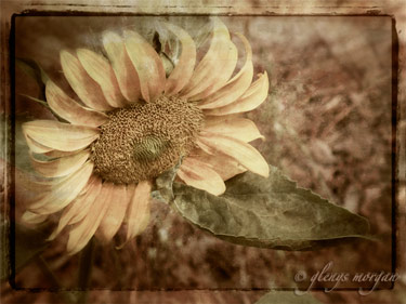 Sepia sunflower.