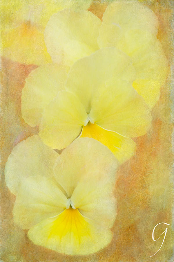 Yellow Painterlyl Pansies