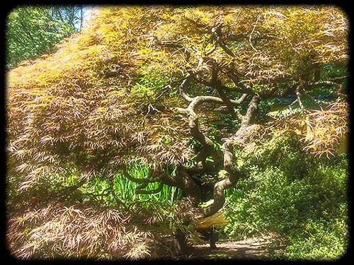 Japanese Maple Across the Bridge, Park Tilford