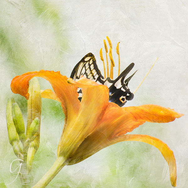 Butterfly in a golden daylily.