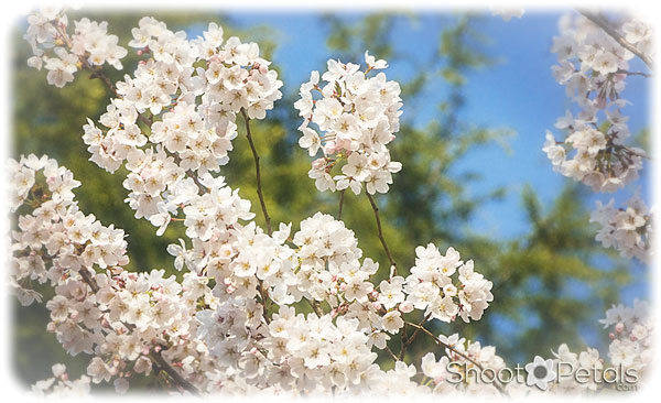 Cherry Blossoms and Blue Sky