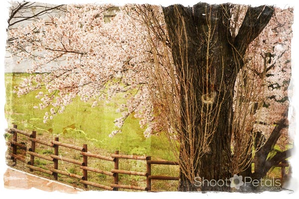 Cherry Blossom Tree Agriculture College