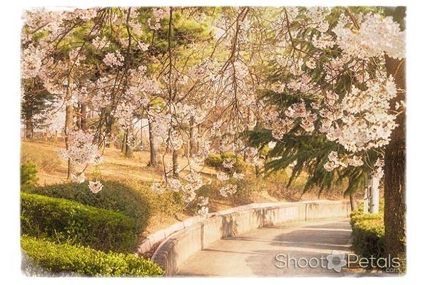 Light pink cherry blossoms, Daegu University.