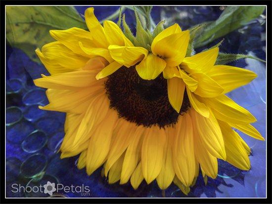 Glowing sunflowers.