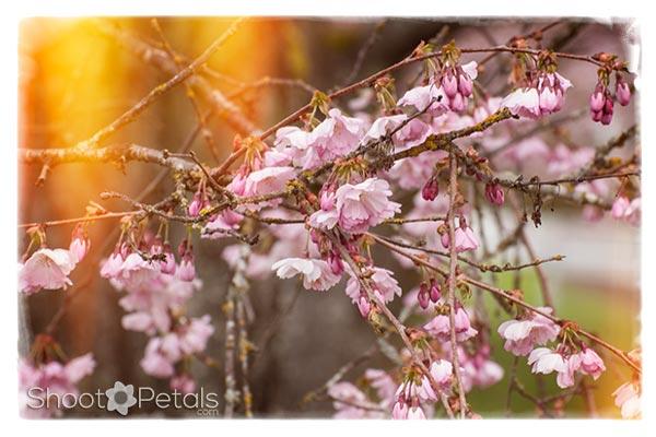 Vancouver Cherry Blossom Festival Flowers and Lightleaks