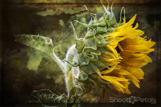 Earthy sunflower picture.