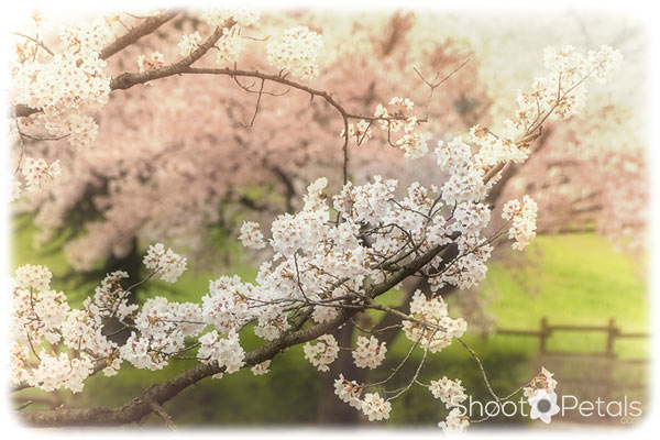 Cherry blossom branch.