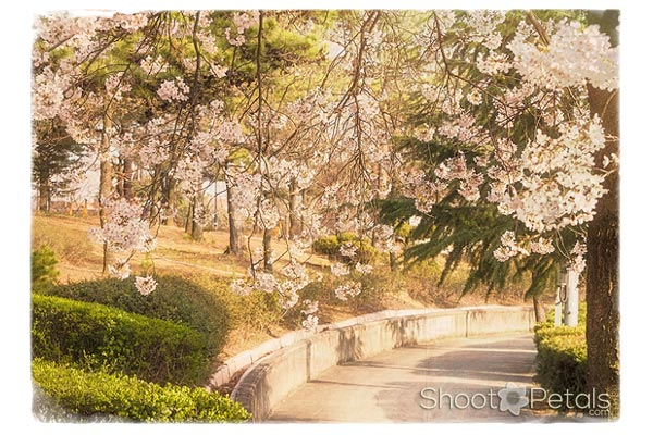 Light pink cherry blossoms, Daegu University.