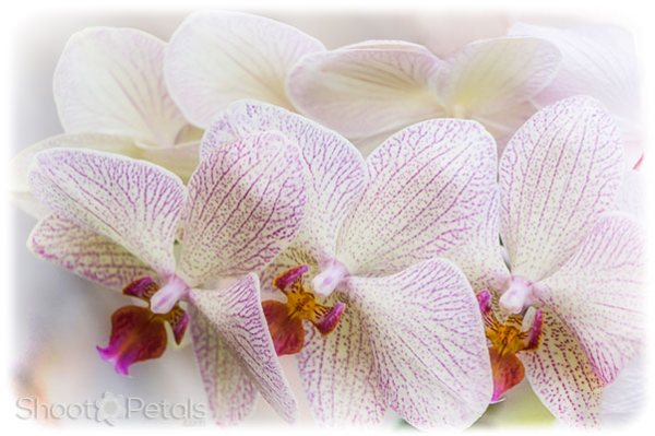 White and magenta phalaenopsis orchids