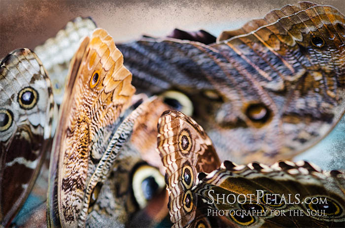 Butterfly Photography - Giant Owl Butterfly Macro