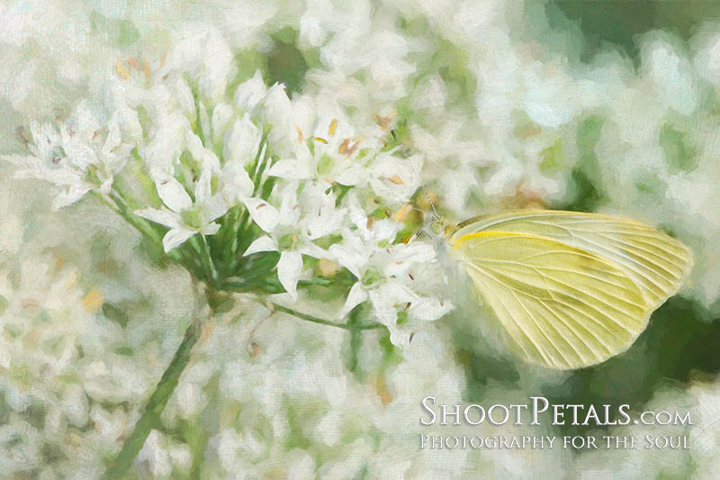 Soft blossoms and butterfly, an artistic impressionist photo.