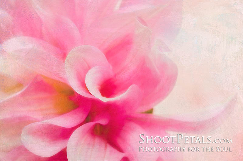 Soft Pink Dahlia Painterly Image