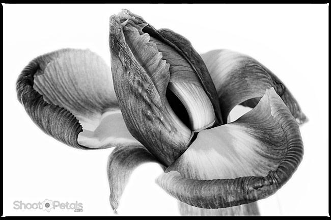 Miniature iris in monochrome - edited in photoshop.