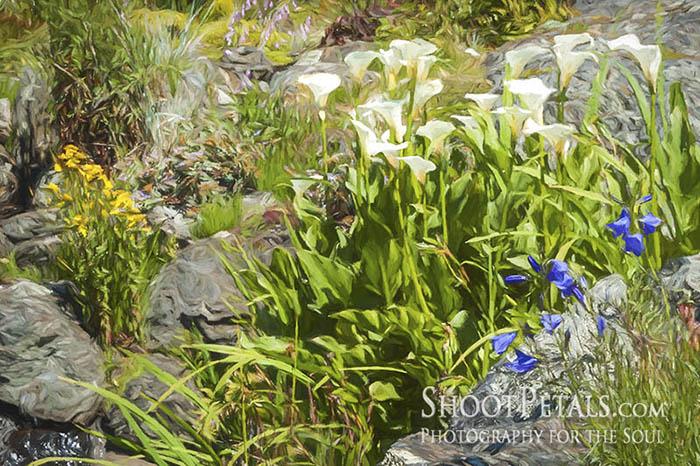 Abkhazi Gardens, Calla Lilies in the Rocky Garden