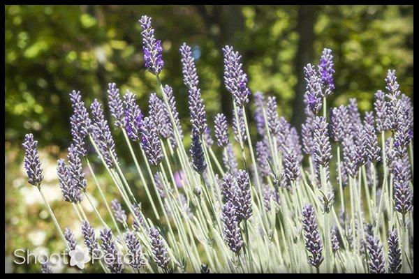 Close up of lavender flowers Abkhazi Garden Victoria.