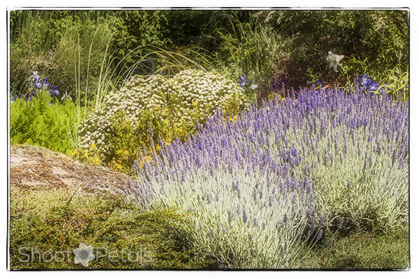 Lavender at Abkhazi Garden Victoria.