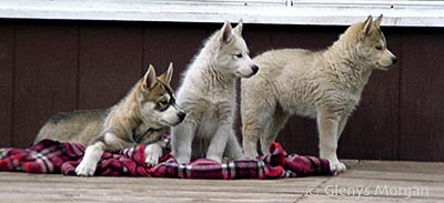 About me -Glenys Morgan- my Siberian Husky puppies