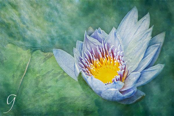 Blue Water Lily Yeomiji Botanical Gardens