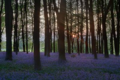 Micheldever Bluebells,   April in England