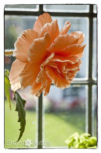Peach Begonia In Restaurant Window