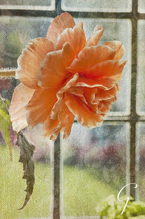 Peach Coloured Textured Begonia