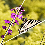 Butterfly photography - swallowtail angles