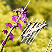 Butterfly photography - swallowtail parallel lines