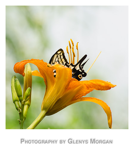 Swallowtail butterfly on Daylily