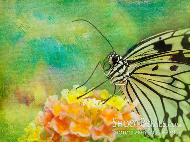 Painterly Paperwhite Butterfly on Flower