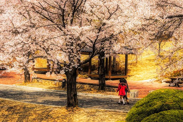 Children Walking Under Cherry Trees.