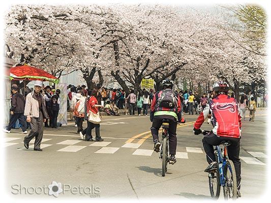 Spring festival Yeouido South Korea
