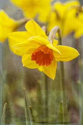 Spring Daffodils In Orange and Yellow