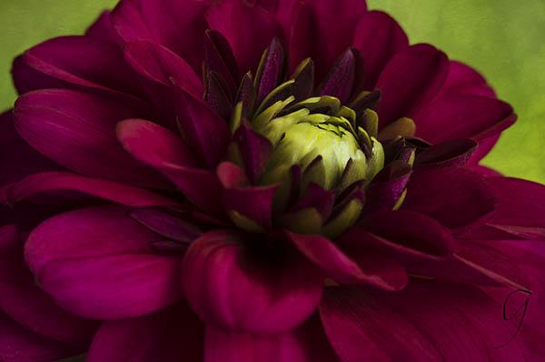 Deep Magenta Dahlia With Green Floret Centre