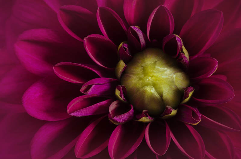 Magenta Dahlia With Green Centre (Dahlia Print #002)