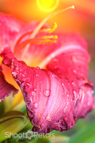 Raindrops on magenta daylily