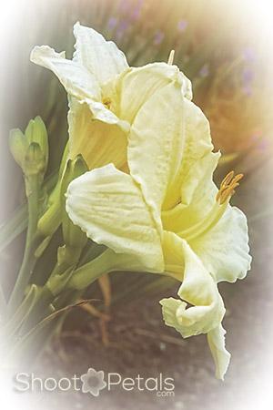 Fluffy light yellow daylilies