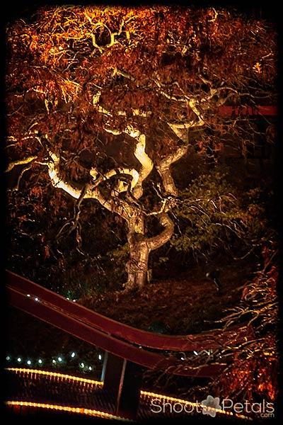 Japanese maple lit up in Park Tilford Gardens