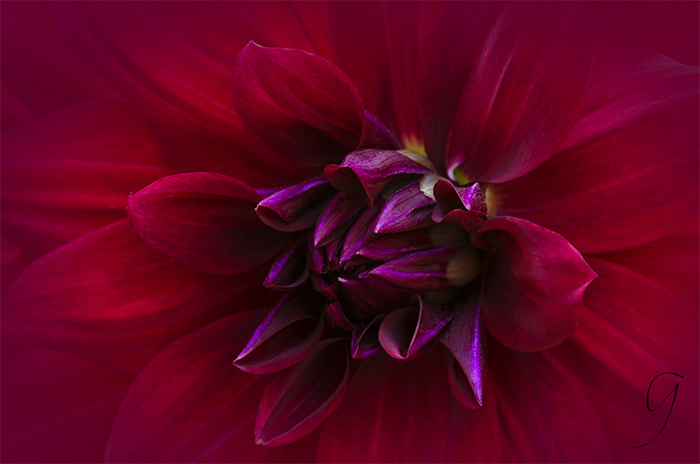 Fiery Red Dahlia Close Up