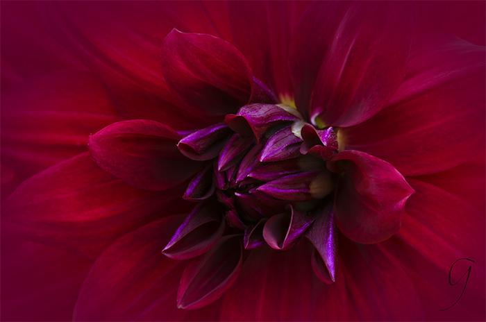 Fiery Red Dahlia Close Up