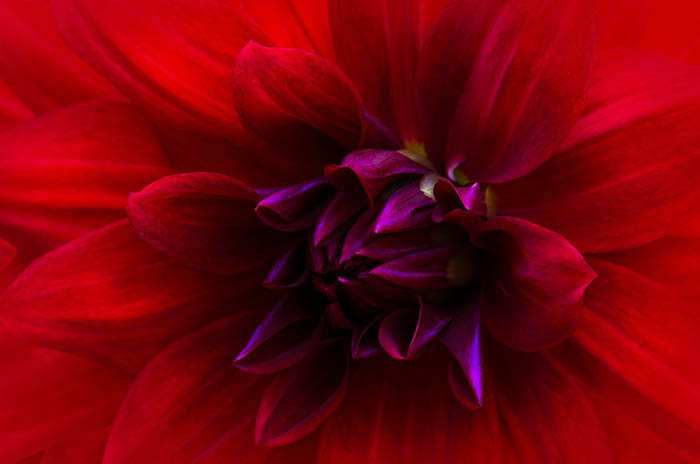 Fiery Red Dahlia In Beautiful Light
