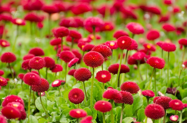 Pompom Style Red Asters