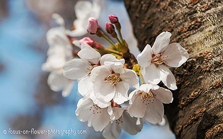 Delicate pink - Spring cherry blossoms.