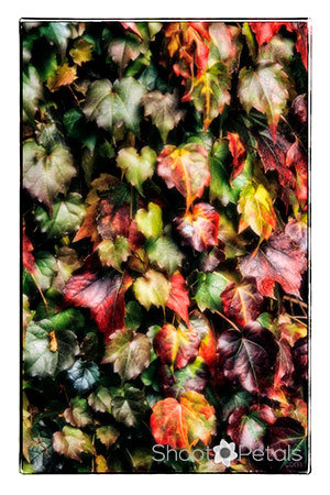 Autumn colours in ivy on a wall.