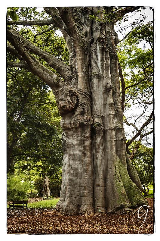 Elephant's Foot or Kapok Tree