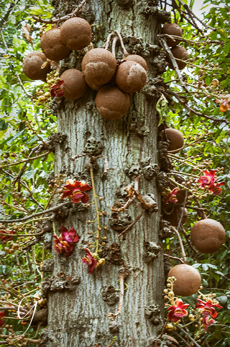 The Cannonball Tree, Foster Botanical Garden
