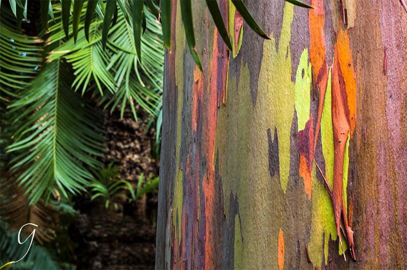 Foster Botanical Gardens Colorful Eucalyptus Tree