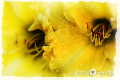 Bright yellow daylilies - textures & frame