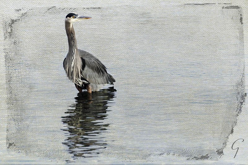 Heron Fishing For Breakfast