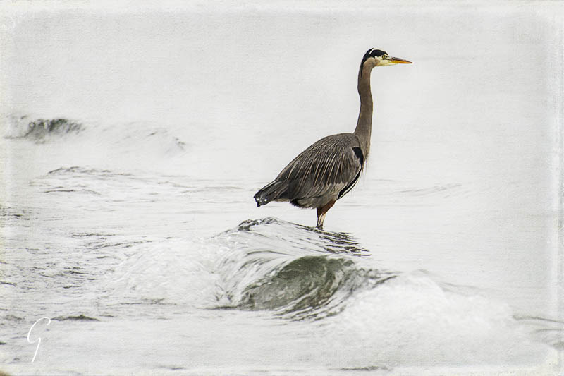 Fishing For A Living - Heron