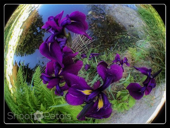iPhoneography Fisheye Lens Purple Irises